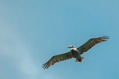 Pelican Flying Stock Images