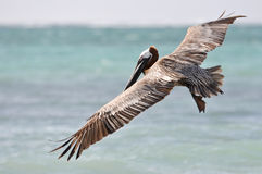 Pelican Flying over the Sea Royalty Free Stock Images