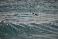Pelican Flying over the Sea of Cortez Royalty Free Stock Images