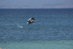 Pelican flying over the sea. Stock Photography