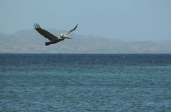Pelican flying over the sea. Stock Images