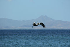 Pelican flying over the sea. Stock Photos
