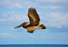 Pelican flying over a sea, Mexico Royalty Free Stock Photography
