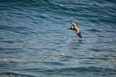 Pelican flying over the sea in Mexico with reflection. Pelican flying over the sea of cortez with reflection in the water Royalty Free Stock Photo