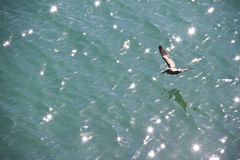 Pelican flying over the sparkling water Royalty Free Stock Photos