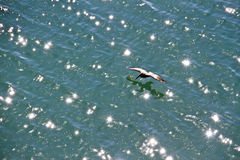 Pelican flying over the sparkling water Stock Image