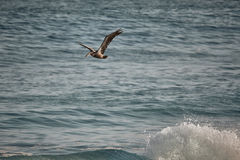 Pelican flying over splashing wave in mexico Stock Photo