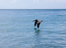 Pelican Flying Over Water Stock Photography