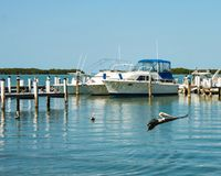 Pelican flying over the water as other swim and perch around dock and boats Royalty Free Stock Images