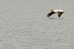 A pelican flying over water Royalty Free Stock Photo