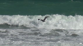 Pelican flying over waves Royalty Free Stock Images