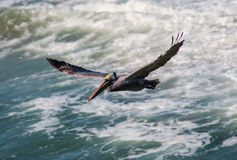 Pelican flying over waves Royalty Free Stock Photos