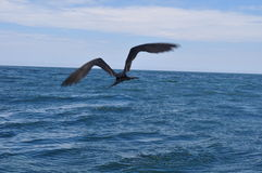 Pelican flying at pacific sea Stock Photography