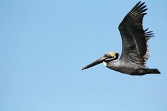 Pelican flying in St. Petersburg, Florida. Royalty Free Stock Photo