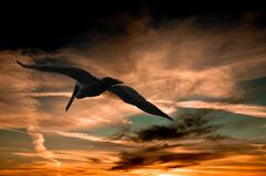 Pelican flying at sunset Stock Photo