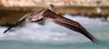 Pelican flying in Tropical paradise stock image