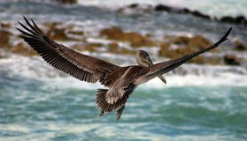 Pelican flying in Tropical paradise Stock Photo