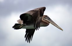 Pelican flying in Tropical paradise Royalty Free Stock Photos