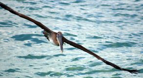 Pelican flying in Tropical paradise Stock Photography