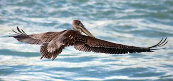 Pelican flying in Tropical paradise Royalty Free Stock Image
