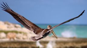 Pelican flying in Tropical paradise Royalty Free Stock Photography