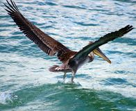 Pelican flying in Tropical paradise Royalty Free Stock Photo