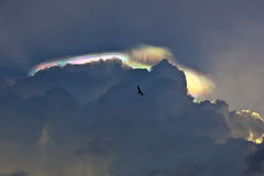 Pelican flying under dark clouds with rainbow Royalty Free Stock Photo