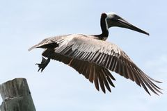 pelican flying with wings spread that just jumped off a wood piling Stock Photo