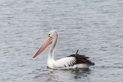 Pelican on the foreshore at Rockingham beach Australia royalty free stock images