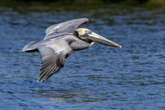 Pelican at Fort De Soto State Park Royalty Free Stock Photo
