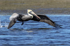 Pelican at Fort De Soto State Park Stock Image