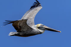 Pelican at Fort De Soto State Park Stock Images