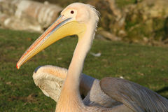 Pelican - France Stock Images