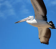 Pelican in Full Flight Stock Photo