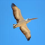 Pelican in Full Flight Royalty Free Stock Photos