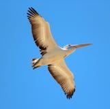 Pelican in Full Flight royalty free stock photos