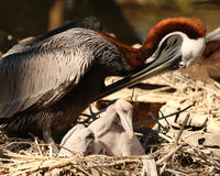 Pelican fussing with her chicks. Pelican looking down as she fusses with her two young babies in the nest Stock Image