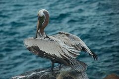 Pelican in Galapagos Islands Royalty Free Stock Images