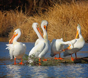 The Pelican Gang. A group of five large white pelicans grooming and sunning themselves on a log Stock Photography
