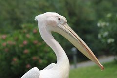 A pelican at the garden Stock Image