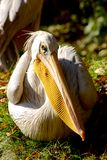 Pelican gaze on blurred green background. Pelican Pelecanus gaze on blurred green background. Bird's head magnified for funny haircut to be clearly visible Stock Photos