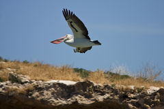 Pelican gliding stock photography