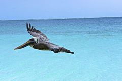 Pelican. A pelican gliding over the ocean Royalty Free Stock Photography