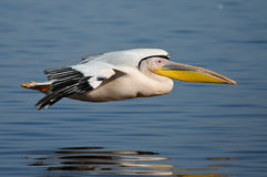 Pelican gliding over water Stock Image