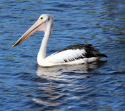 Pelican gliding in the water. Stock Photos