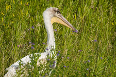 Pelican In Grass. A pelican all alone is hiding in some long grass outside Stock Photos