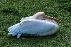 Pelican in the grass. Pelican sitting in the grass in London stock photo