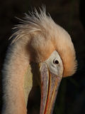 Pelican. Great white Pelican in the evening sun Stock Photo