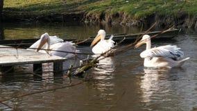 Pelican stock video