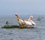 Pelican. Greater Pelican flying over the coast of Lake Naivasha Stock Image